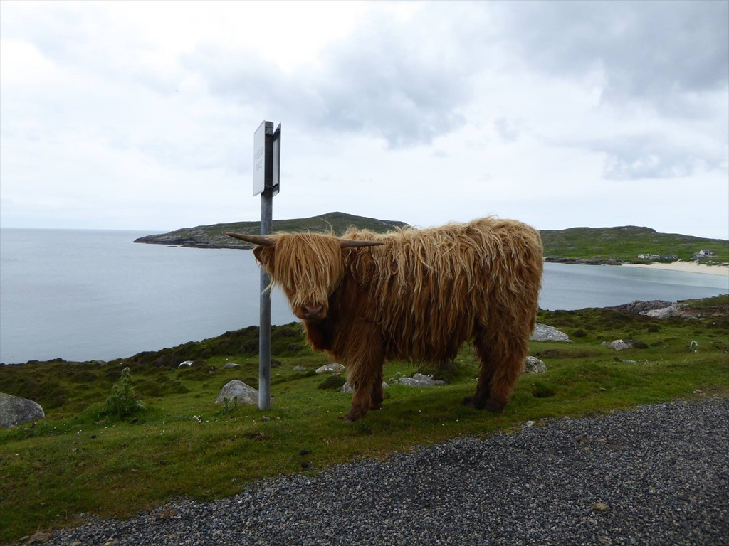 Wester Ross Highland Cow